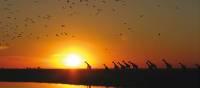 Giraffes silhouetted against an African sunset   David Jung