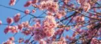 Peach Blossoms in Kitano Tenmangu Shrine   Felipe Romero Beltran